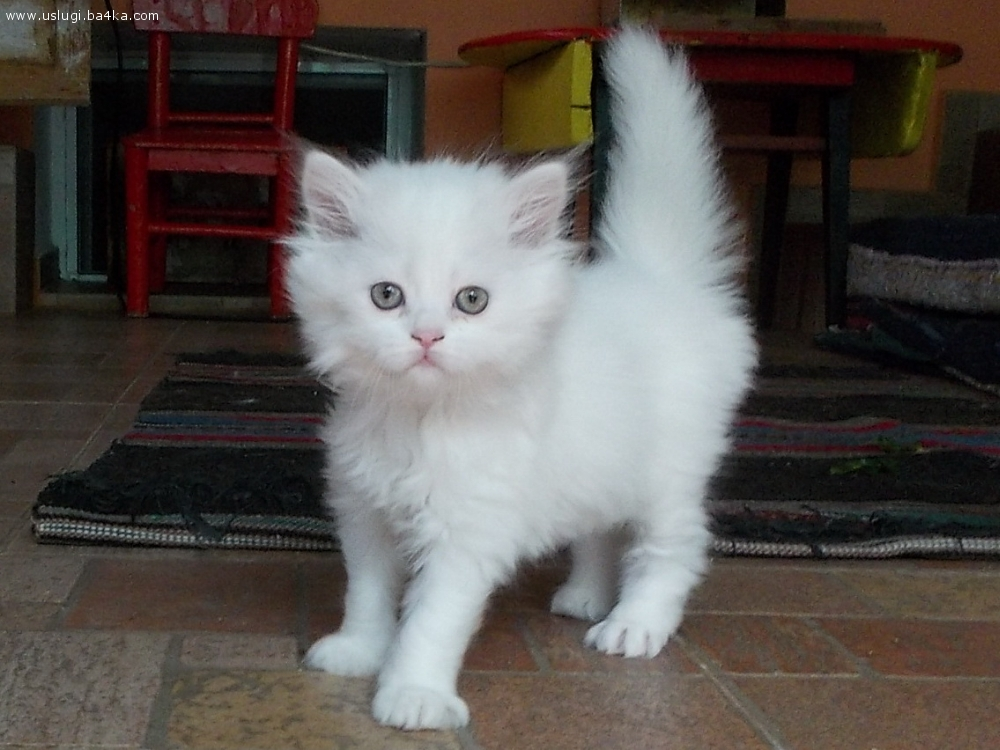 Продавам чистокръвни, персийски котета на 40 дни